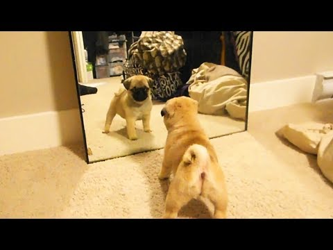 Dogs vs. Mirrors 🐶 Funny Dogs Reaction With Mirrors (Full) [Funny Pets]