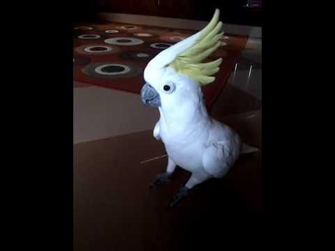 Ini Nyata...!!! || Burung Kakatua Bisa Berzikir dan Pintar Menirukan Suara Manusia