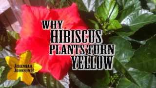 Growing Hibiscus Flowers- Why Hibiscus Leaves Turn Yellow- MORE Flowers!