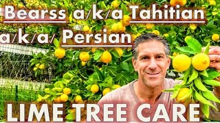Bearss a/k/a Tahitian a/k/a/ Persian Lime & Mexican Lime Trees | Citrus Care