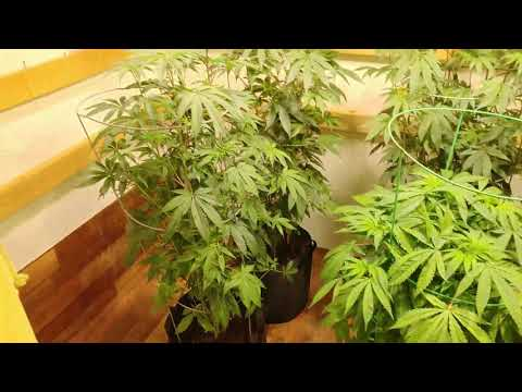 how to lst grow cannabis
