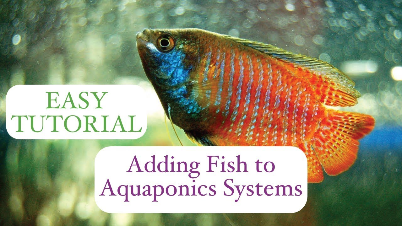 Aquaponics: Adding Fish