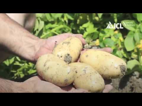 Agrocote Max Trial Results Controlled Release Fertilizers Potato