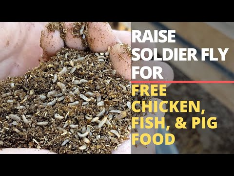 How To Start A Black Soldier Fly Bin: Food, Care, Design
