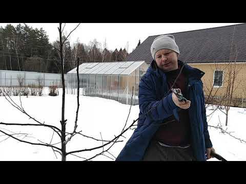 Обрезка молодого дерева яблони сорта Белорусское сладкое   правильная   обрезать   деревьев   хозяйст   осенняя   обрезка   деревья   яблоню   яблони   умное