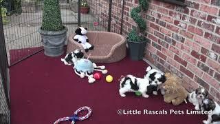 Little Rascals New Litter Of Cavatzu Puppies