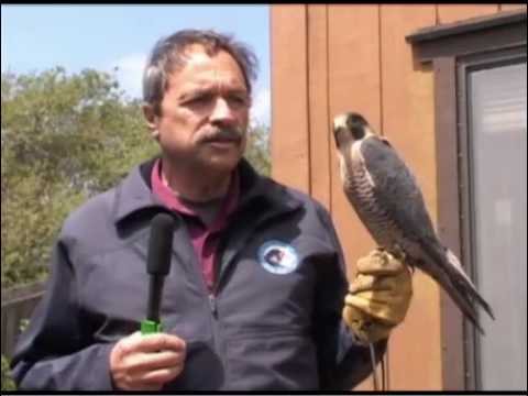The Better Part - Peregrine Falcon - Saved!