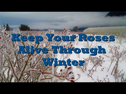How to cut rose bushes for winter