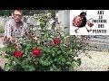 jardinage: comment bien tailler un rosier buisson remontant au mois de mars (printemps)Plante vivace