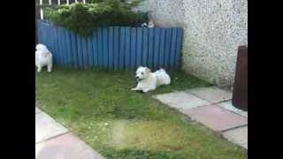Two Maltese Cross Dogs Enjoying The Sun *read Description*