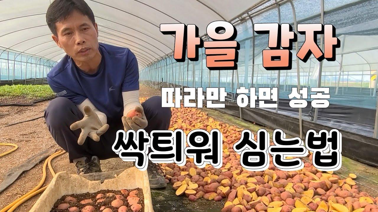 휴면타파 필요 없다 가을 감자 쉽게 싹띄우는법 가을 감자 재배법