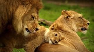 Интересные факты - Львы
