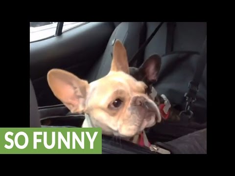 French Bulldog puppy throws cutest tantrum ever