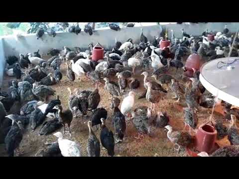 Turkey Farm in Dhaka ,