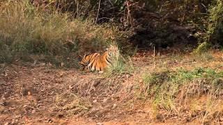 Tiger-Stalking