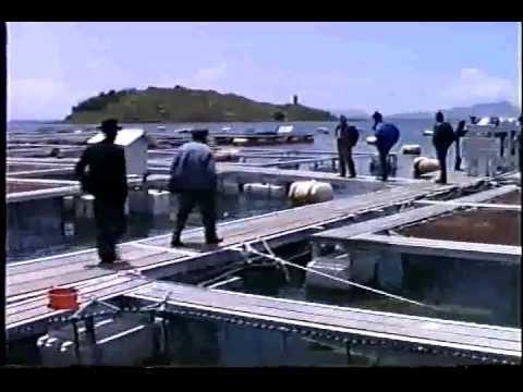 Crianza de truchas en tiquina lago youtube for Crianza de truchas en lagunas