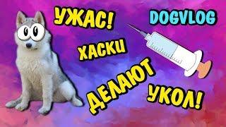 УЖАС! ХАСКИ ДЕЛАЮТ УКОЛ! Говорящая собака