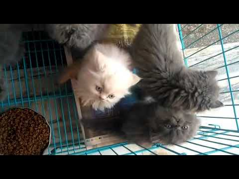persian cat for sale call me at 9149244562