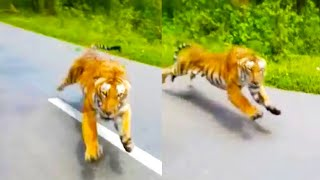 Tiger Chases Man On Motorcycle