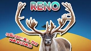 Reno o Caribú |El ciervo ayudante de Santa Claus| (Animales del Mundo) |Navidad|
