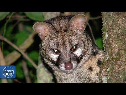Genet Cat