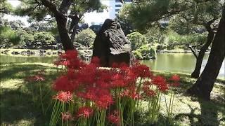 旧芝離宮恩賜庭園の彼岸花(ヒガンバナ)曼珠沙華 ブログはこちら→https...