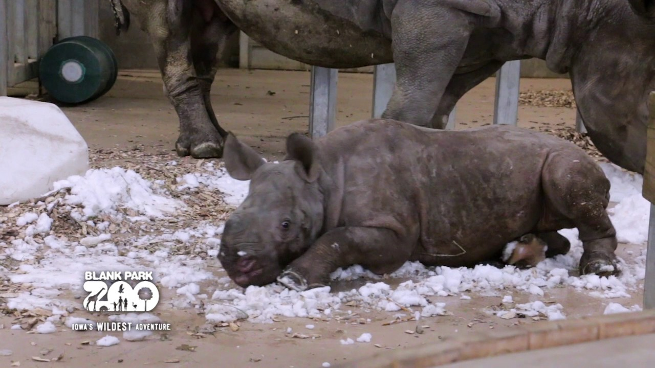 Baby Rhino Discovers Snow