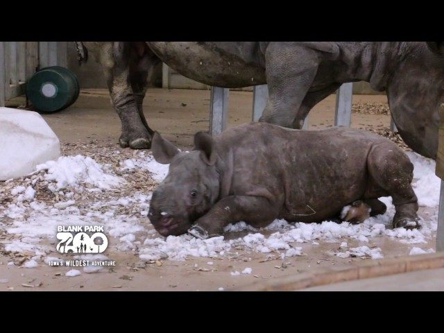 Así reacciona este bebé rinoceronte al descubrir la nieve
