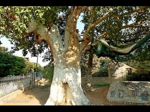 Jericho - the story of the most important sycamore tree in the Christian world.