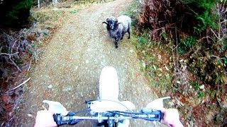 Angry ram attacks motorcyclist in the forest(, 2013-07-30T06:44:02.000Z)