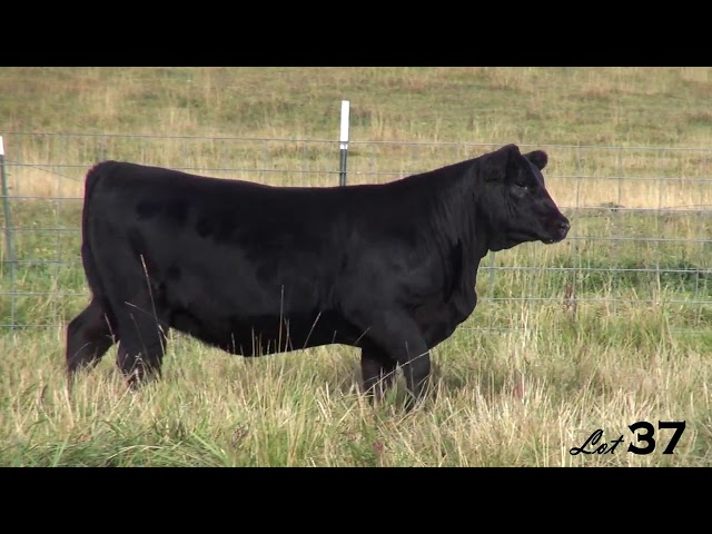 Pine Coulee Angus Lot 37