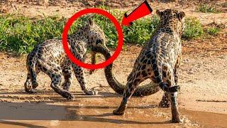 Deliye Dönen Hayvanların En İnanılmaz Karşılaşmaları