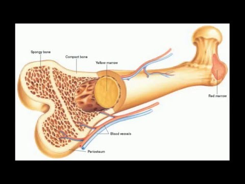 longest and smallest bone of human body - youtube, Cephalic Vein