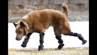 Животные инвалиды продолжают двигаться с помощью протезов