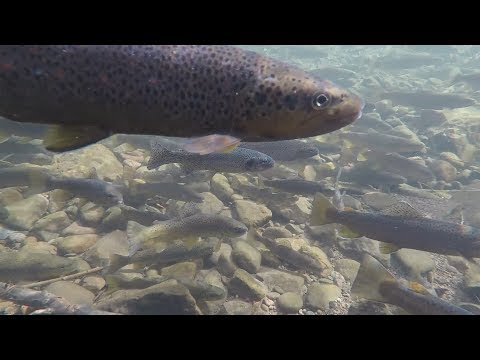 Brown Trout Spawning Migration Underwater