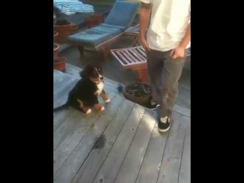 superhuman bernese mountain dog training