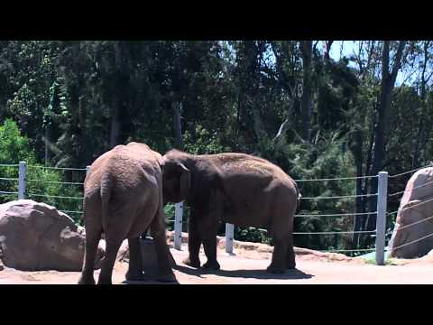 Asian & African Elephants at San Diego Zoo
