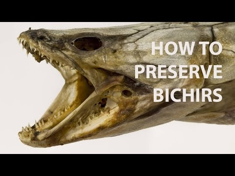 How To: Preserve Bichirs & Other Armoured Fish