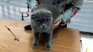 Напуганная Шотландская Вислоухая Кошечка   Ну Очень ГРУСТНАЯ Кошка | ПОРОДЫ КОШЕК