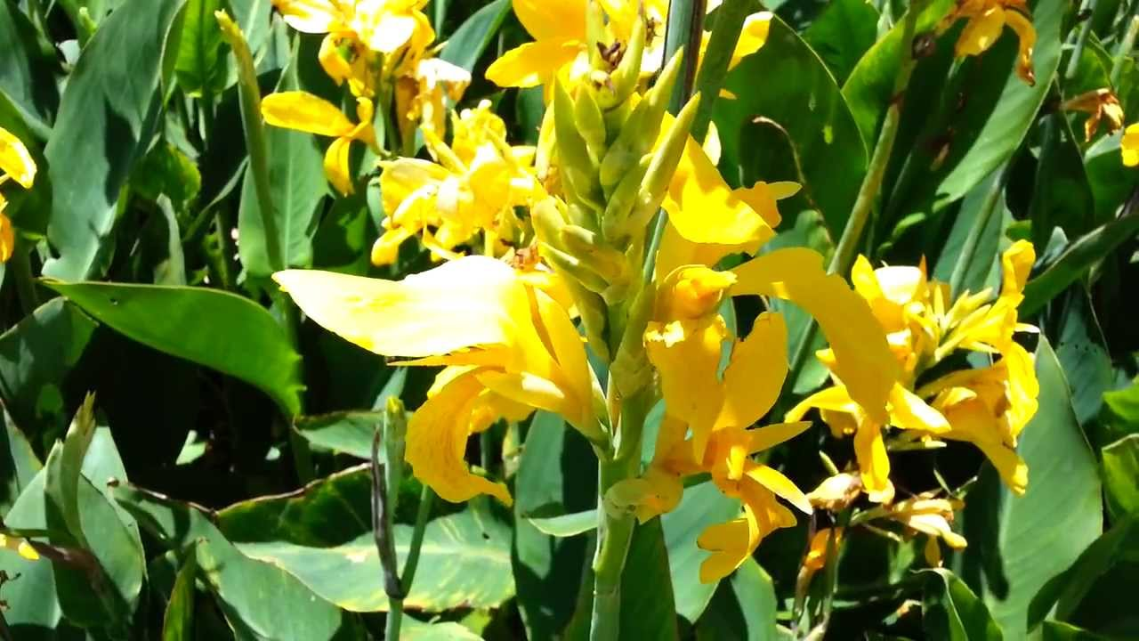 Canna Plant Yellow Flowers Canna Lily Hd 01 Youtube
