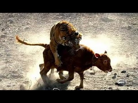 Huge tiger is not afraid of anyone. Tiger killed a calf near the city