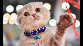 Гуаньча (Китай): девять из десяти рыжих котов толстые? На вопрос отвечают сами кошки.
