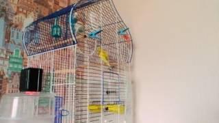 Мои попугаи чирикают  под  музыку