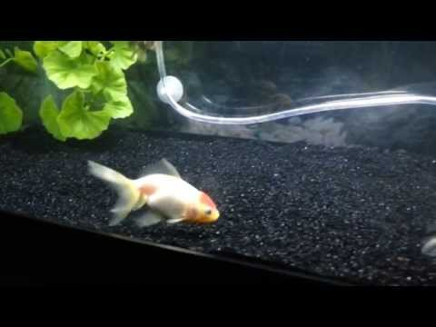 Goldfish LOVE Black Tahitian Moon Sand! Pt1