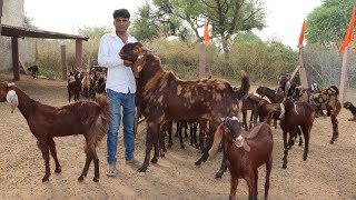 Big Breeder goat & bakriyan at Lucky goat farm