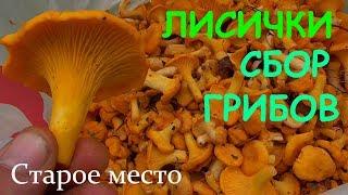 Лисички.Сбор грибов