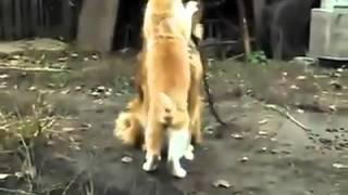 Необычная любовь собаки и кошки   смотреть онлайн видео на Киви