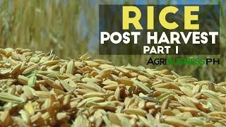 Rice Post Harvest Part 1 : Rice Post Harvest Technology Solutions | Agribusiness Philippines