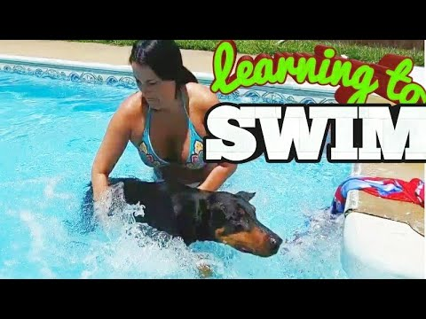 Can a Doberman Pinscher Swim?