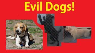 Breeder Meets ~ Evil Labradoodle Mean Tempered Funny Problem Dog